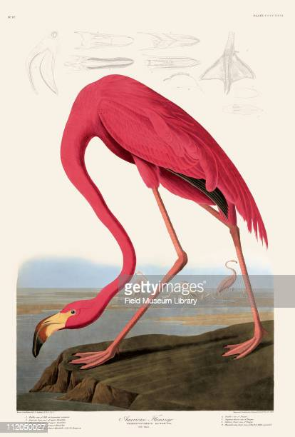 American Flamingo Plate 431 in John James Audubon's Birds of America late 1830s