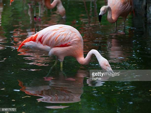 American flamingo seeking food in water