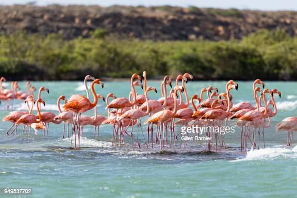 American Flamingoes (Phoenicopterus Ruber) in water, Punta Gallinas, La Guajira, Colombia