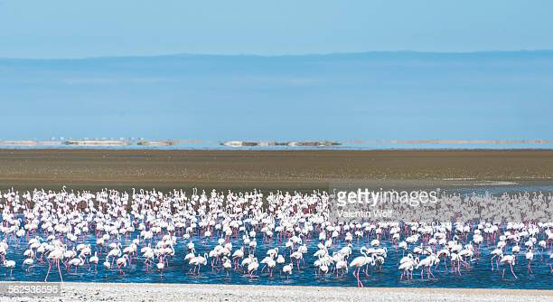 american flamingos -phoenicopterus ruber- and lesser flamingos -phoeniconaias minor-, flamingo colony on sand bank at walvis bay, erongo region, namibia - erongo stock photos and pictures