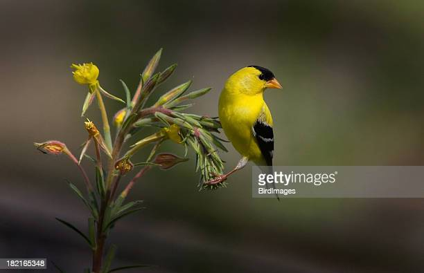 american gold finch - male - american goldfinch stock pictures, royalty-free photos & images