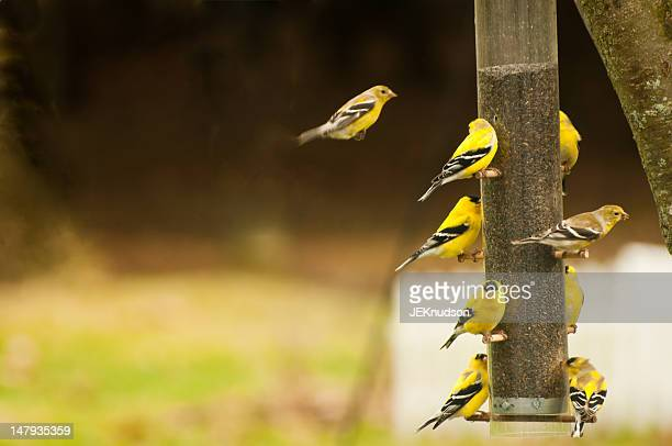 american gold finch - american goldfinch stock pictures, royalty-free photos & images