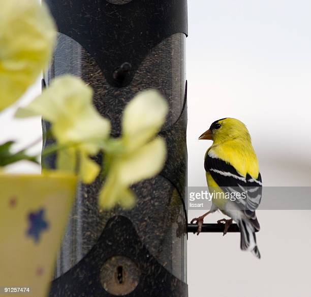 american goldfinch - back - american goldfinch stock pictures, royalty-free photos & images