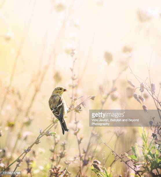american goldfinch in beautiful gold light in pennsylvania - songbird stock pictures, royalty-free photos & images