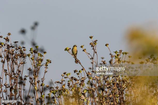 american goldfinch in the meadow - american goldfinch stock pictures, royalty-free photos & images