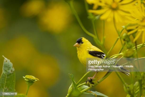 american goldfinch male on cup plant flowers - songbird stock pictures, royalty-free photos & images