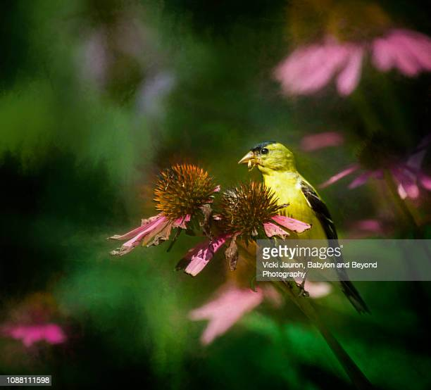american goldfinch on cone flowers at connetquot state park - american goldfinch stock pictures, royalty-free photos & images