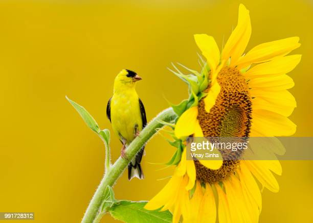 american goldfinch on sunflower - american goldfinch stock pictures, royalty-free photos & images