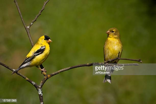 American Goldfinch Pair Perched on a Branch