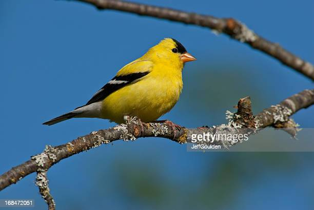 american goldfinch perched in a tree - american goldfinch stock pictures, royalty-free photos & images