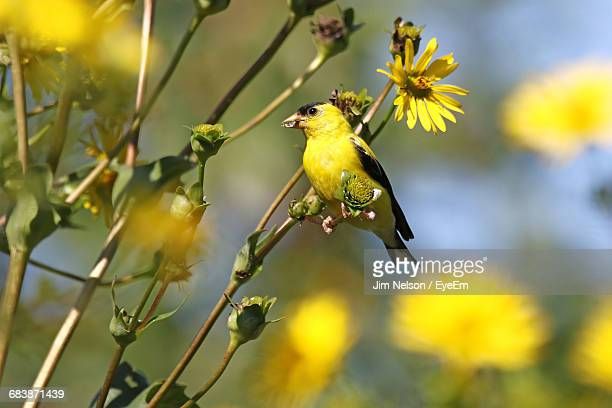 american goldfinch perching on plant - american goldfinch stock pictures, royalty-free photos & images