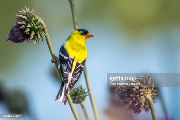 american goldfinch perching on thistle - american goldfinch stock pictures, royalty-free photos & images
