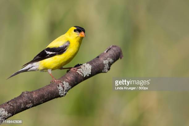 american goldfinch - american goldfinch stock pictures, royalty-free photos & images