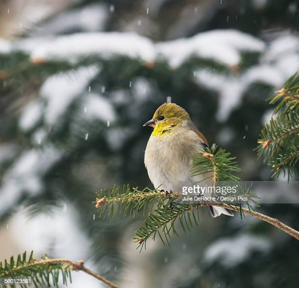 american goldfinch (carduelis tristis) - american goldfinch stock pictures, royalty-free photos & images