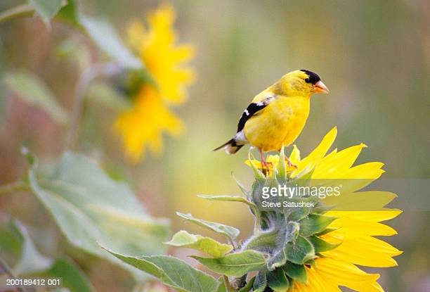 american goldfinch (carduelis tristis) standing on sunflower - american goldfinch stock pictures, royalty-free photos & images