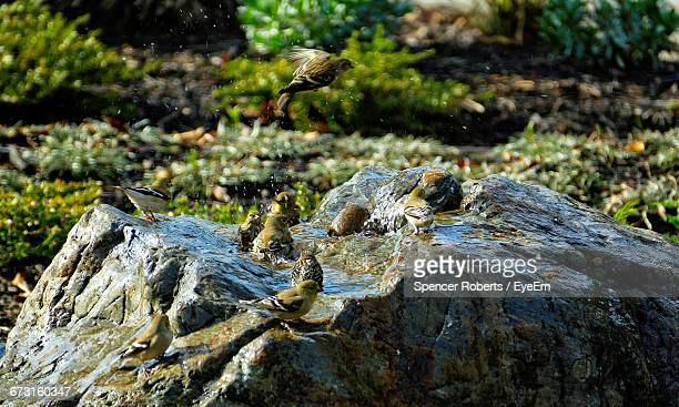 american goldfinches perching on rock formation - american goldfinch stock pictures, royalty-free photos & images