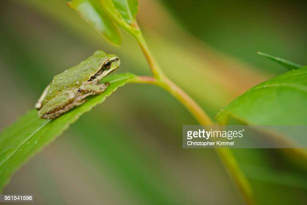 American green tree frog (Hyla cinerea) sitting on leaf, Langley, British Columbia, Canada