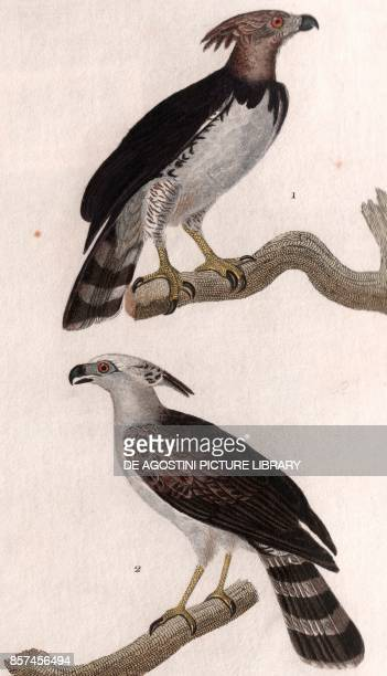 American harpy eagle , 2 Crested eagle , colour copper engraving, retouched in watercolour, 9x15 cm, from Dizionario delle scienze naturali compilato...