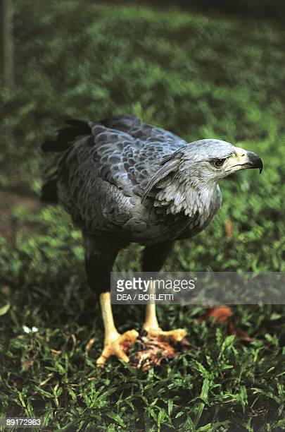 American Harpy Eagle standing on ground