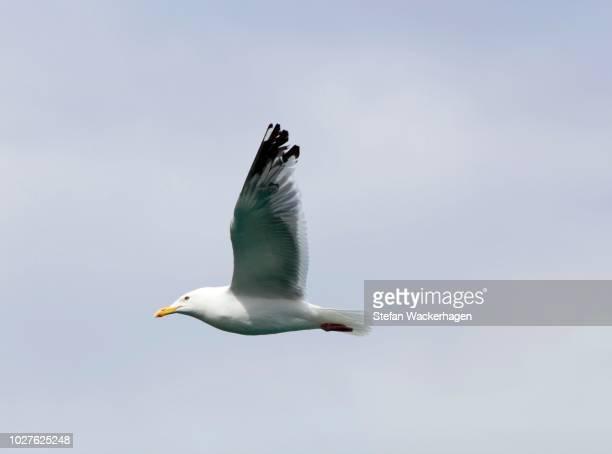 american herring gull or smithsonian gull (larus smithsonianus, larus argentatus), flying, atlin lake, british columbia, canada, america - vista lateral stock pictures, royalty-free photos & images