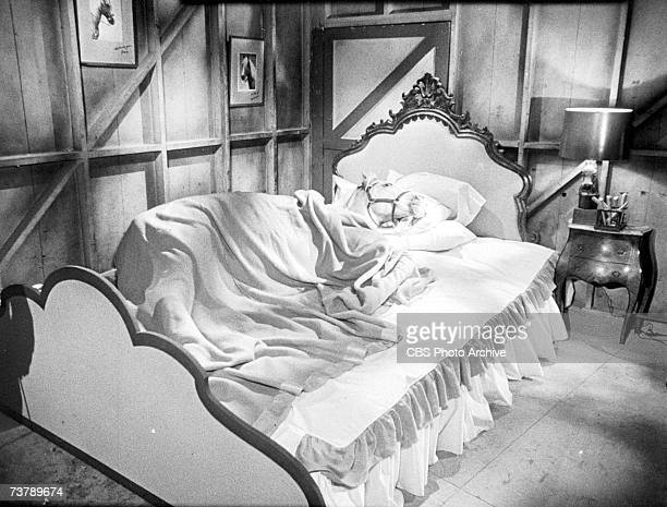 American horse and actor Bamboo Harvester lies in a bed under a blanket with his head on pillows for an episode of the CBS sitcom 'Mr Ed' Hollywood...