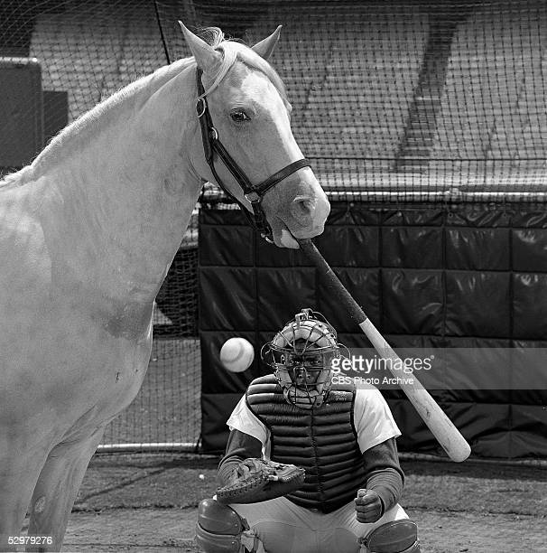 American horse and comic actor Bamboo Harvester holds a baseball bat in his mouth and swings at a pitch in character as Mr Ed the talking horse in an...