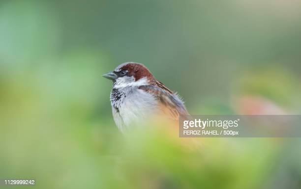 American House Sparrow