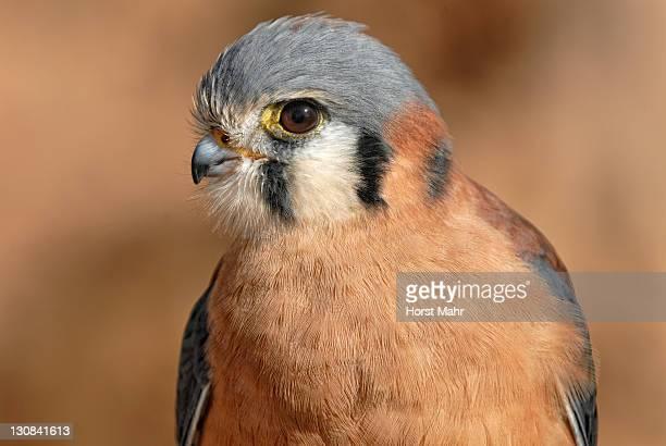 American Kestrel (Falco sparverius), Arizona Sonora Desert Museum, Saguaro National Park West, Tucson, Arizona, USA