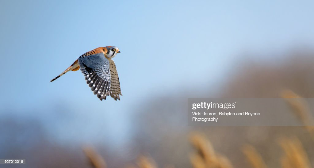 American Kestrel Falcon Against Blue Sky in Brooklyn, NY. : Stock Photo