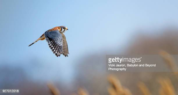 american kestrel falcon against blue sky in brooklyn, ny. - hawk bird stock photos and pictures