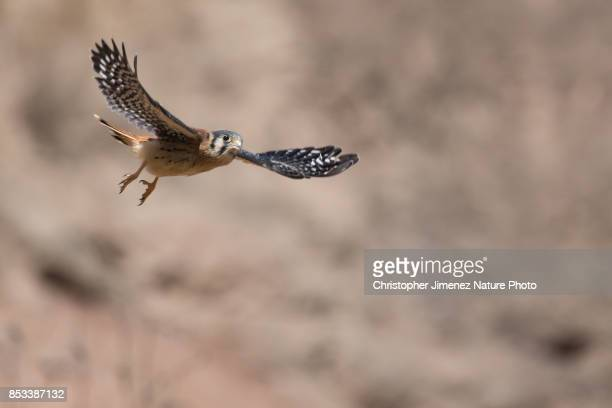 american kestrel in flight in the dessert of peru - christopher jimenez nature photo stock pictures, royalty-free photos & images