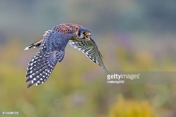 american kestrel - hawk stock photos and pictures