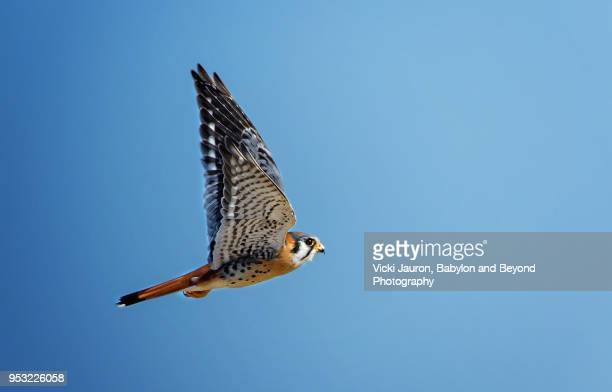 american kestrel with wings up against blue sky - falcon bird stock photos and pictures