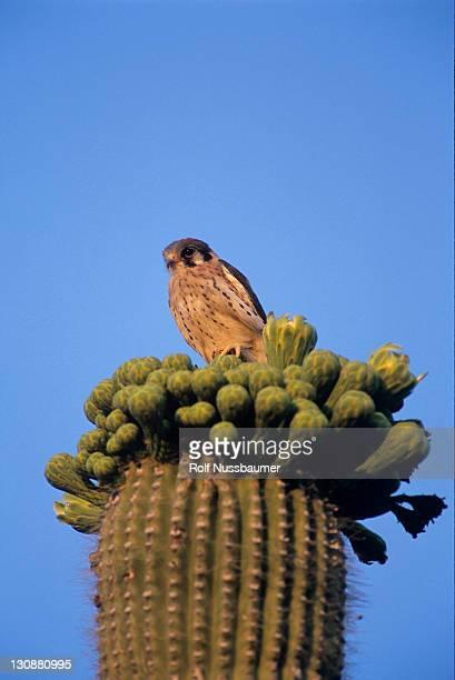 American Kestrel (Falco sparverius), young on top of blooming Saguaro Cactus, Saguaro National Park, Sonoran Desert, Tucson, Arizona, USA