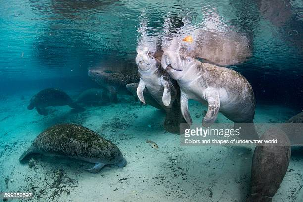 American manatee family in Crystal River