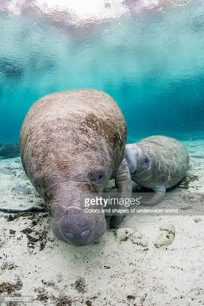 American manatee feeding its child