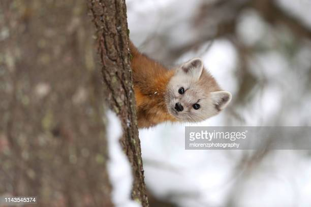 american marten - pine marten stock pictures, royalty-free photos & images
