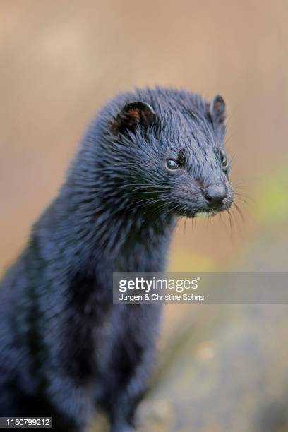 American Mink (Mustela vison), adult, alert, animal portrait, Pine County, Minnesota, USA