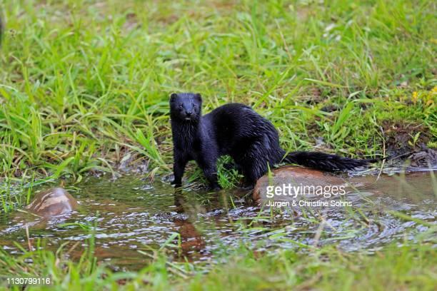 American Mink (Mustela vison), adult, alert, on the water, Pine County, Minnesota, USA