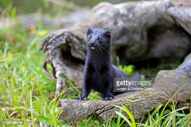 American Mink (Mustela vison), adult, alert, Pine County, Minnesota, USA
