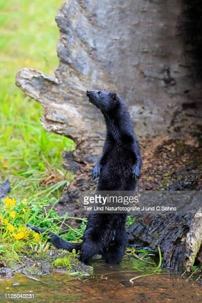 American Mink, (Mustela vison), adult alert standing upright at water, Pine County, Minnesota, USA, North America
