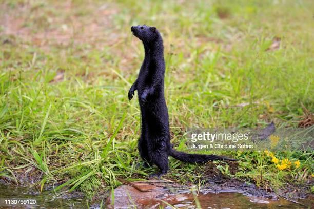 American Mink (Mustela vison), adult, alert, standing upright on water, Pine County, Minnesota, USA
