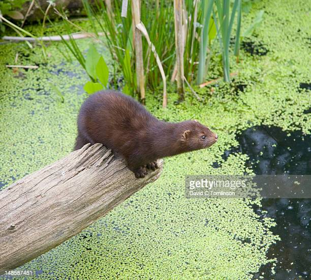 American mink (Mustela vison) at the British Wildlife Centre.