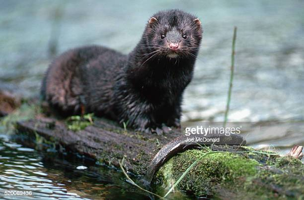 American Mink Eating Trout
