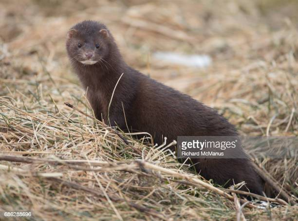american mink in den. - mink animal stock pictures, royalty-free photos & images