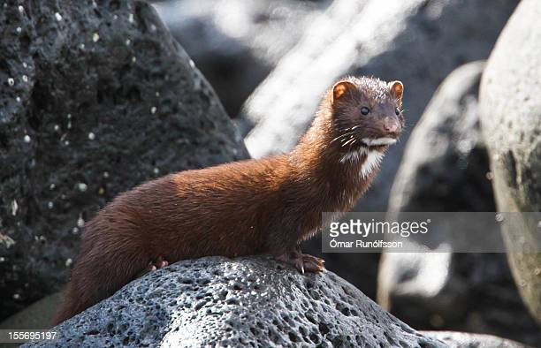 american mink - mustela vison - minkur - mink animal stock pictures, royalty-free photos & images