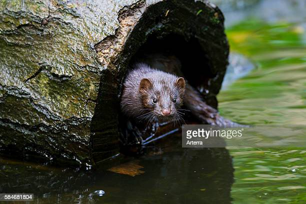 American mink mustelid native to North America in hollow tree trunk on river bank