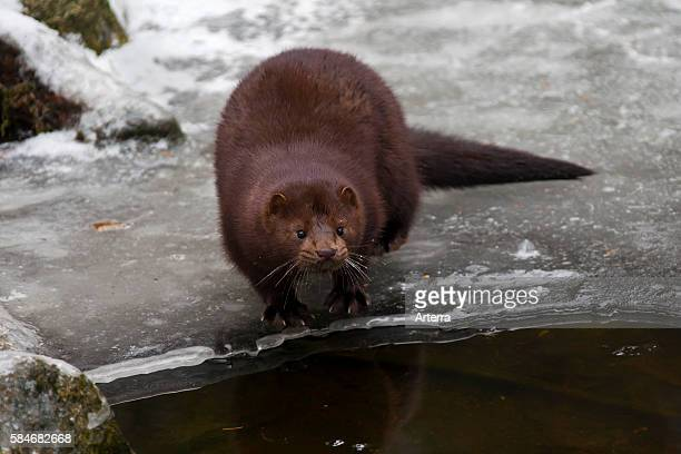 American mink mustelid native to North America on frozen river bank in winter