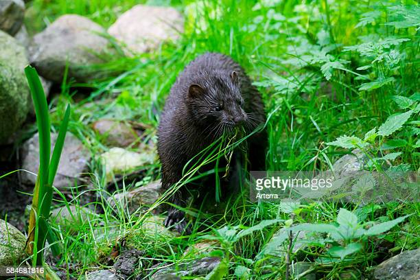American mink , mustelid native to North America on river bank collecting grass for nest building.
