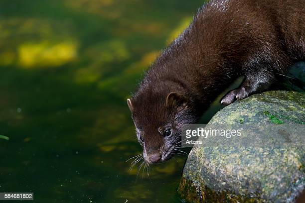 American mink mustelid native to North America on river bank